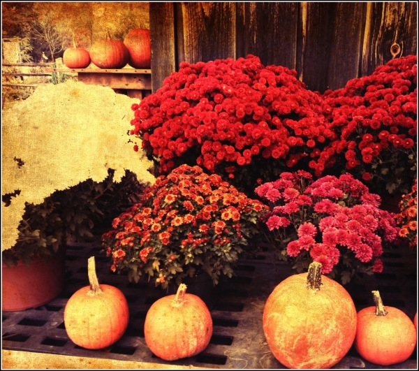Mums and Pumpkins by Dena T Bray