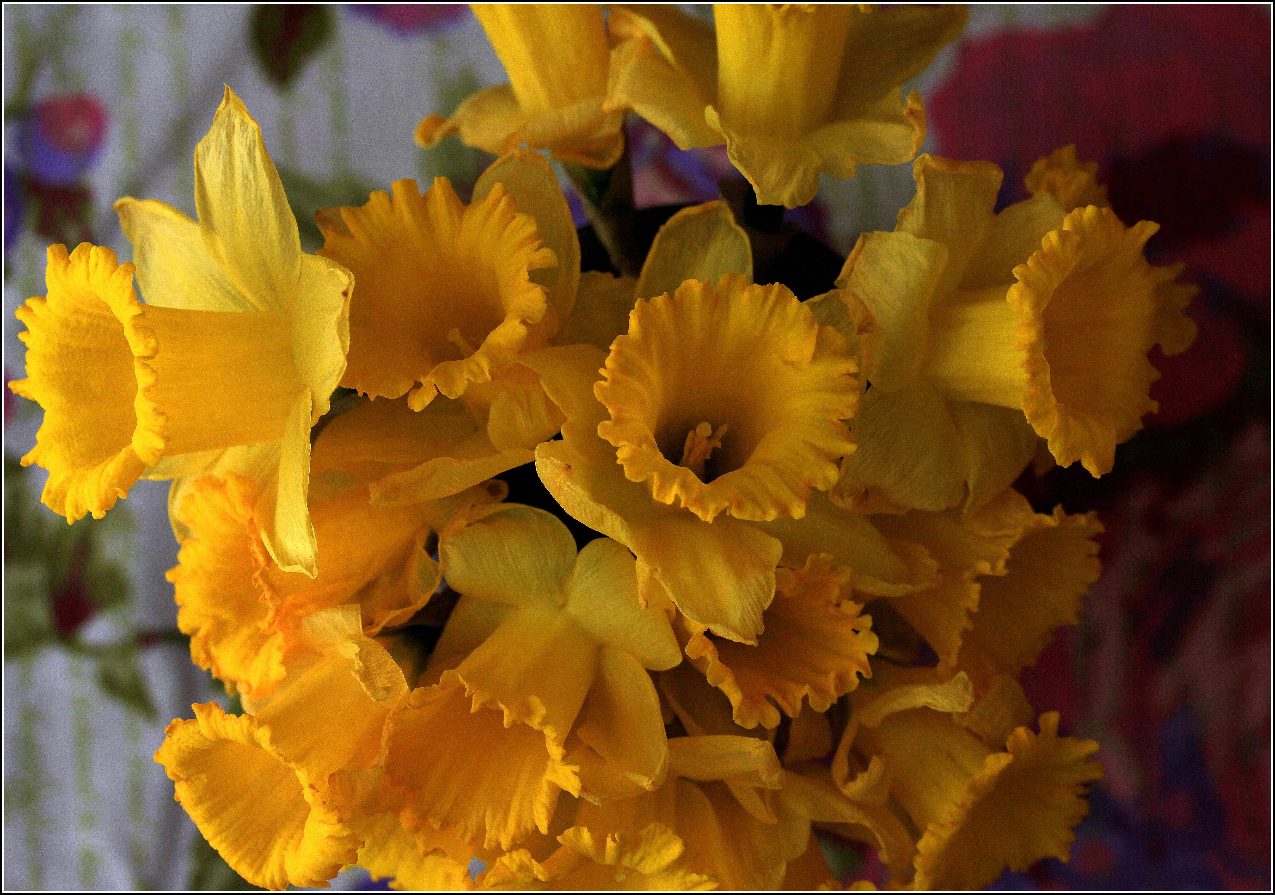 Daffodils! by Dena Testa Bray©