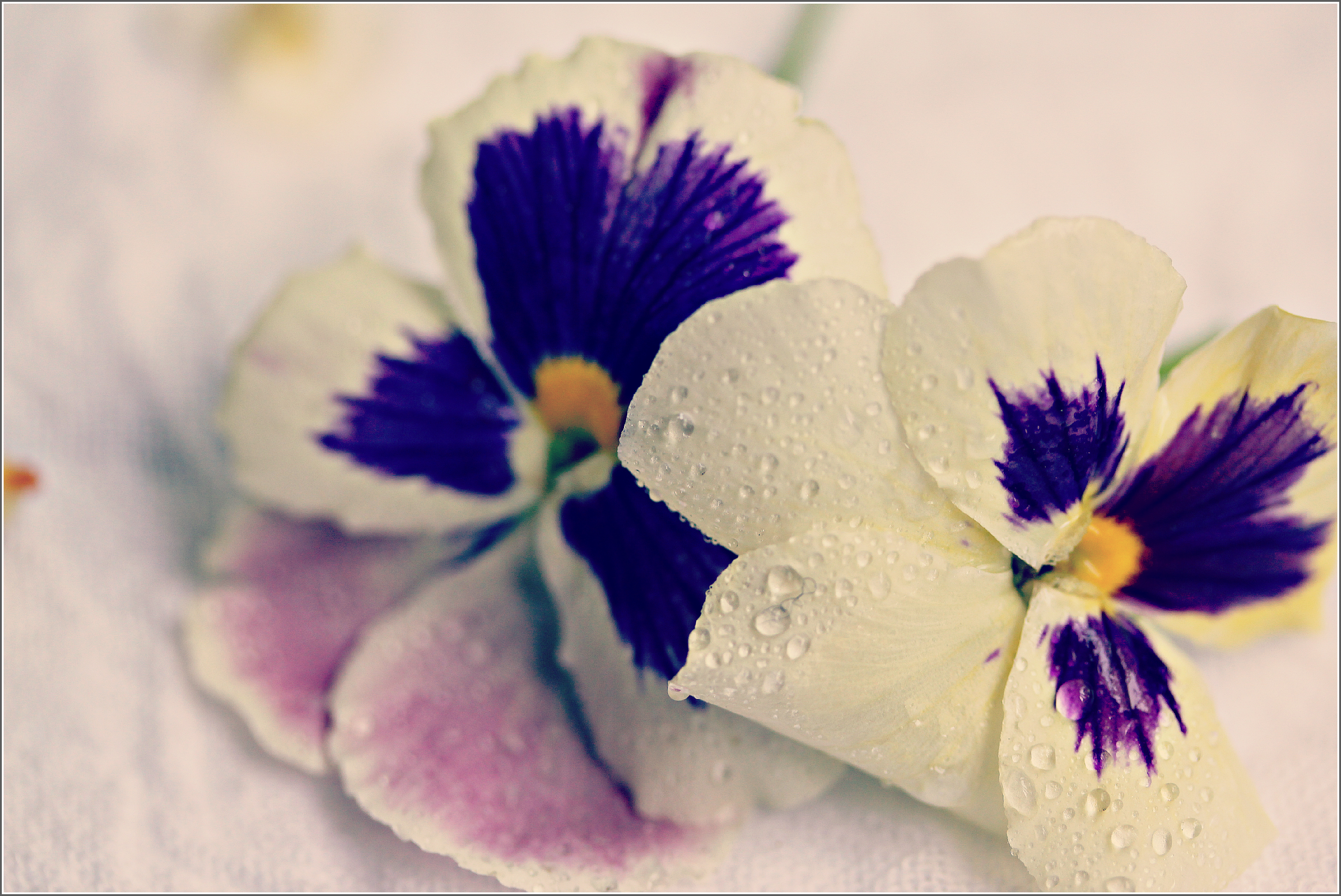 Pansies and Water Droplets by Dena T Bray©