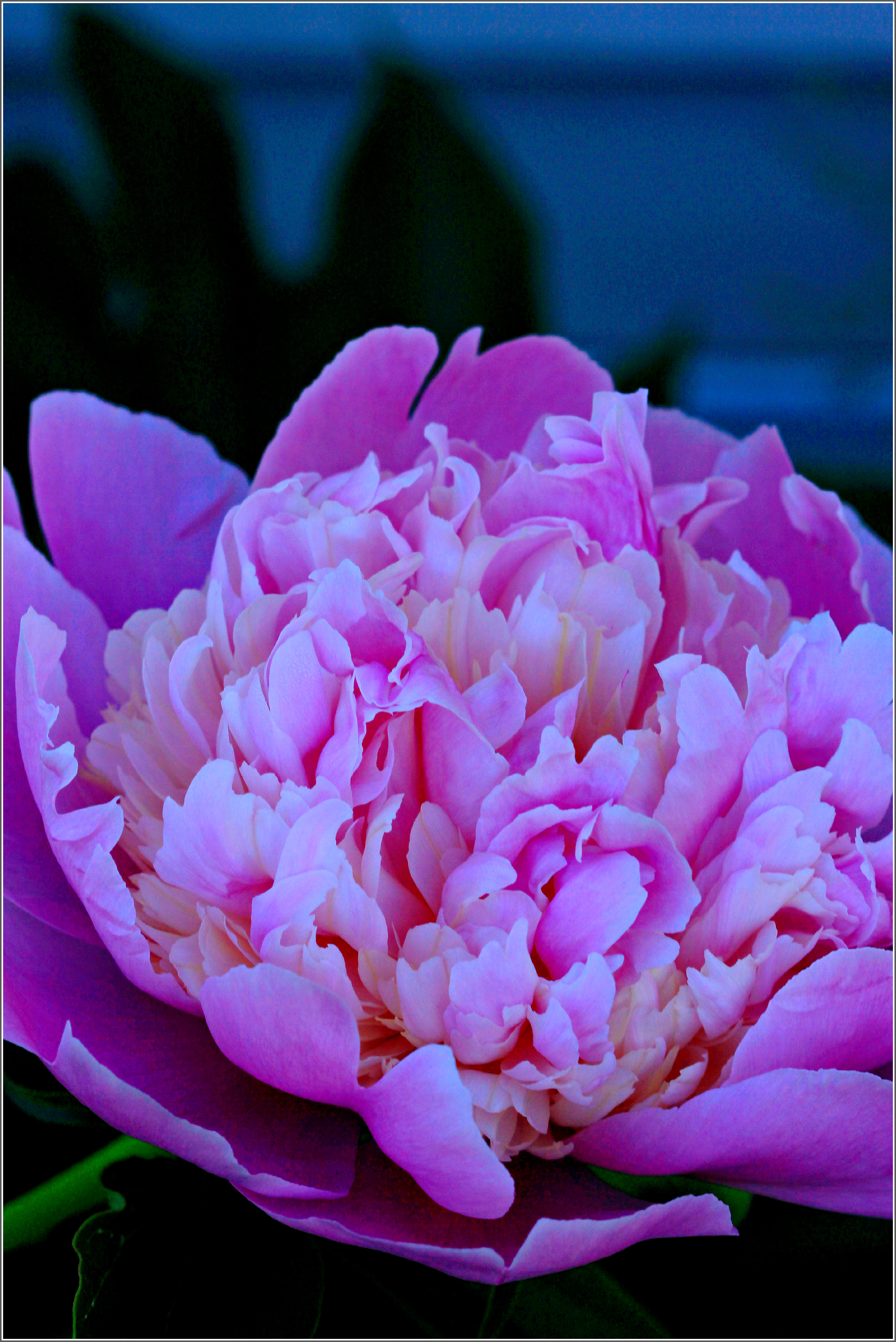 Peony in Evening Light by Dena T Bray©