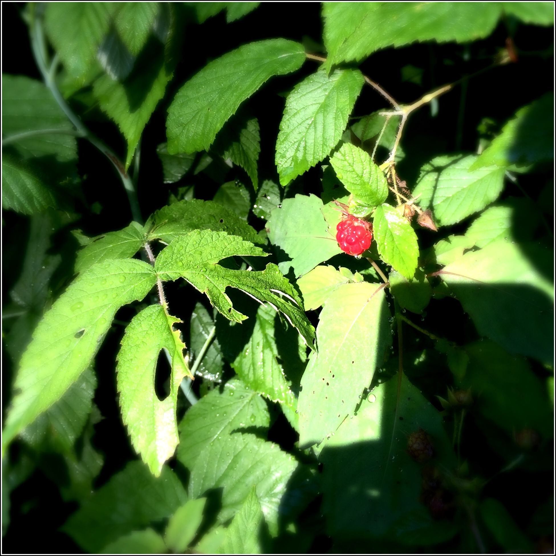 Raspberry in Morning Light by Dena T Bray©